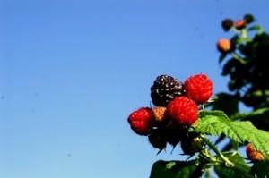 MPO_Berries